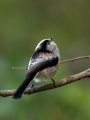 Dolgorepka_Long_tailed_tit_34.jpg