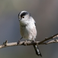 Dolgorepka_Long_tailed_tit_37.jpg