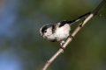 Dolgorepka_Long_tailed_tit_38.jpg