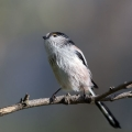 Dolgorepka_Long_tailed_tit_39.jpg
