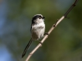 Dolgorepka_Long_tailed_tit_40.jpg