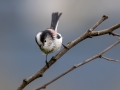 Dolgorepka_Long_tailed_tit_42.jpg