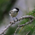 Gorska_sinica_Willow_tit_05.jpg