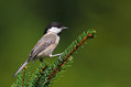 Gorska_sinica_Willow_tit_06.jpg