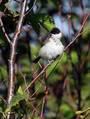 Gorska_sinica_Willow_tit_07.jpg