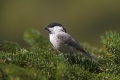 Gorska_sinica_Willow_tit_08.jpg