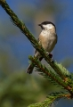 Gorska_sinica_Willow_tit_09.jpg
