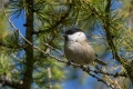 Gorska_sinica_Willow_tit_10.jpg