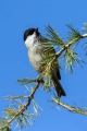 Gorska_sinica_Willow_tit_11.jpg