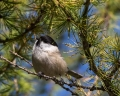 Gorska_sinica_Willow_tit_12.jpg