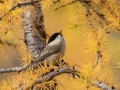 Gorska_sinica_Willow_tit_13.jpg