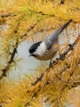 Gorska_sinica_Willow_tit_17.jpg