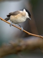 Gorska_sinica_Willow_tit_19.jpg