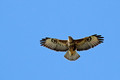 Kanja_Common_buzzard_Buteo_buteo_08.jpg