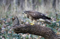 Kanja_Common_buzzard_Buteo_buteo_11.jpg