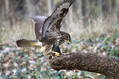 Kanja_Common_buzzard_Buteo_buteo_12.jpg