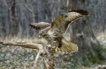 Kanja_Common_buzzard_Buteo_buteo_18.jpg