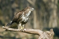 Kanja_Common_buzzard_Buteo_buteo_22.jpg