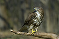 Kanja_Common_buzzard_Buteo_buteo_23.jpg