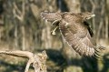 Kanja_Common_buzzard_Buteo_buteo_24.jpg