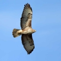 Kanja_Common_buzzard_Buteo_buteo_31.jpg