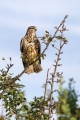 Kanja_Common_buzzard_Buteo_buteo_32.jpg