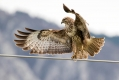 Kanja_Common_buzzard_Buteo_buteo_34.jpg