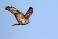 Kanja_Common_buzzard_Buteo_buteo_42.jpg