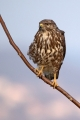Kanja_Common_buzzard_Buteo_buteo_58.jpg