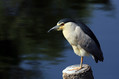 Kvakac_Night_heron_010.jpg