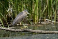 Kvakac_Night_heron_015.jpg