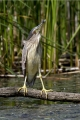 Kvakac_Night_heron_016.jpg