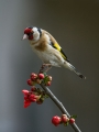Liscek_Goldfinch_12.jpg