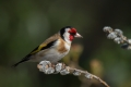 Liscek_Goldfinch_13.jpg