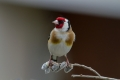 Liscek_Goldfinch_14.jpg