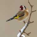 Liscek_Goldfinch_15.jpg