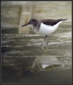 Mali_martinec_Common_sandpiper_06.jpg