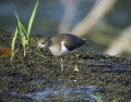 Mali_martinec_Common_sandpiper_07.jpg
