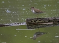 Mali_martinec_Common_sandpiper_08.jpg