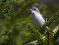 Mlinarcek_Lesser_whitethroat_03.jpg