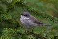 Mlinarcek_Lesser_whitethroat_06.jpg