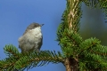 Mlinarcek_Lesser_whitethroat_07.jpg