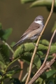 Mlinarcek_Lesser_whitethroat_10.jpg