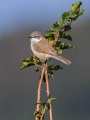 Mlinarcek_Lesser_whitethroat_11.jpg