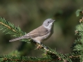 Mlinarcek_Lesser_whitethroat_14.jpg