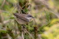 Mlinarcek_Lesser_whitethroat_16.jpg
