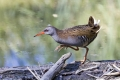 Mokoz_Water_rail_19.jpg
