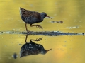 Mokoz_Water_rail_35.jpg
