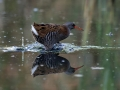 Mokoz_Water_rail_36.jpg