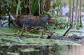 Mokoz_Water_rail_54.jpg